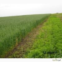 Озима пшениця Скіпетр найкраща для пізнього посіву