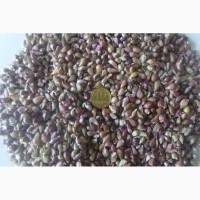 Продам семена чеснока Любаша 4+ 20грн 5+, 6, 7+ 35- 40 грн + ПРОТРАВИТЕЛЬ