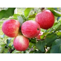 Яблоко с сада сорта Санрайз