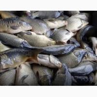 Продам живую рыбу малька: Линь, амур, карп, толстолобик одно летка двух летка