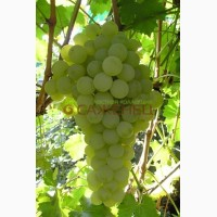 Виноград столовый Суручанский