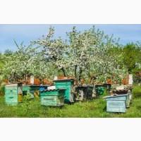 Продам пчелопакеты (бджолопакети) 2020 терміново