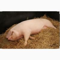 Продам рем свинок F1