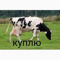 Куплю коров старых и молодых яловых дорого