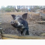 Продам свиноматок породы мангал