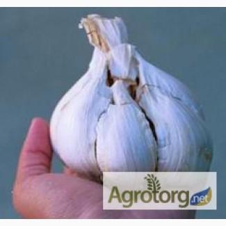 Підприємство реалізує насіння озимого часнику ВОЗДУШКА