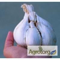 Підприємство реалізує насіння озимого часнику ВОЗДУШКА очікуємо 8-10т