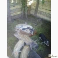 Продам свиней поросят порода венгерская мангалица пуховая травоядная
