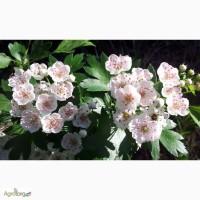 Продам Боярышник цветы