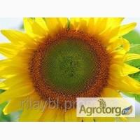 Продам семена подсолнечника гибрид ЛГ 5550