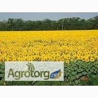 Семена подсолнечника ЕС Петуния (Euralis Semenses)+ Подарок-кукуруза