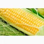 Кукуруза Любава 279 МВ