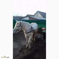 Продаеться кобила 9-років