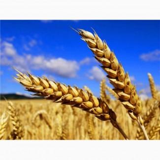 Куплю пшеницу опт ЦІНА ДОГОВІРНА