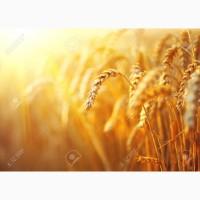 Закуповуємо у сільгоспвиробників зерновідходи пшениці по Миколаївській області