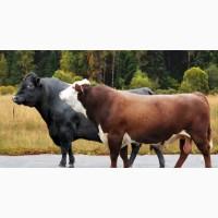 Покупаю быки 400-450-500 кг