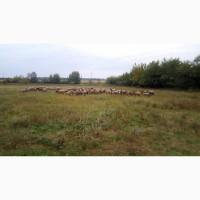 Романівські вівці