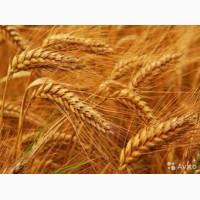 Закупаем пшеницу 2, 3, 6 кл