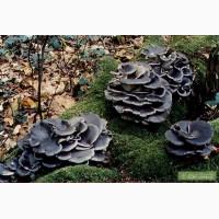 Семена грибов. Вешенка синий чулок, колумбийская