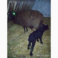 Продам вівці Меринос на м#039;ясо