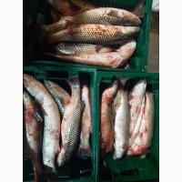 Продам азовский пеленгас