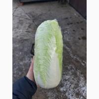 Капуста пекінська продам сорт Білко