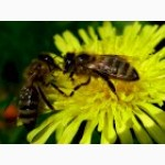 Продам бджолопакети заказуйте