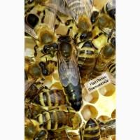 Продам ПЛІДНІ БДЖОЛОМАТКИ * пчеломатки* Карпатської породи, Вучківський тип (договірна)