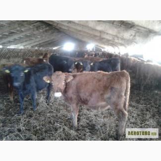 Куплю бычков 100-350 кг
