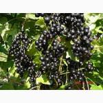Продам кущі смородини чорної є багато сортів 1 та 2 річні ціни приємно здивують