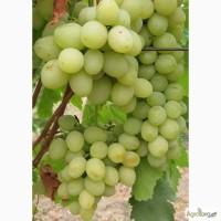 Саженцы винограда Почтой. Сорта Бурдака, Павловского, Крайнова, Капелюшного, Загорулько
