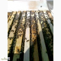 Пчелопакеты, бджолопакети можлива доставка