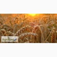 Пшеница любых классов самовывоз дорого