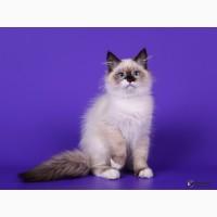 Элитные котята невской маскарадной кошки