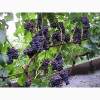 Куплю виноград для личного пользования
