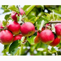 Яблоки оптом Слава Победителю
