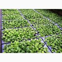 Принимаем заявки на выращивание рассады табака (сорта под заказ)