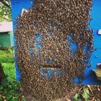 Продам Бджолопакети 2019 ( Пчелопакеты)