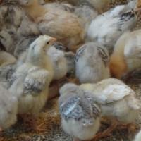 ДОМИНАНТ. Инкубационное яйцо купить Полтава
