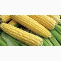 Продам кукурузу сахарную в качанах