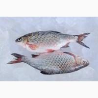 Купить рыбу оптом. Продажа речной рыбы