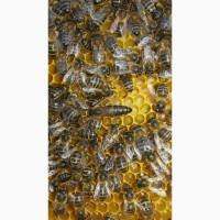 Пропоную ПЛОДНІ бджоломатки Карпатки чистопородні, високопродуктивні по хорошій ціні
