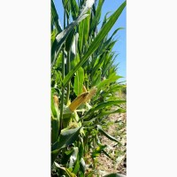 Семена кукурузы ДН Страйд (ФАО 230). Урожай 2020