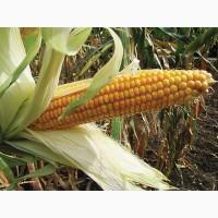 Семена кукурузы гибрид ДБ Хотин
