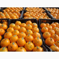 Компания импортёр продаёт мандарин оптом