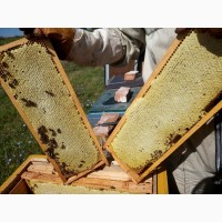 Продам Бджолосім`ї (Карніка, Бакфаст) 100 шт