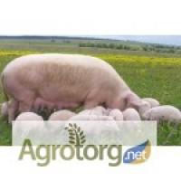 Продам свиней живым весом в пгт.нижнегорский
