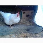 Продам яйцо инкубационное плимутрока белого