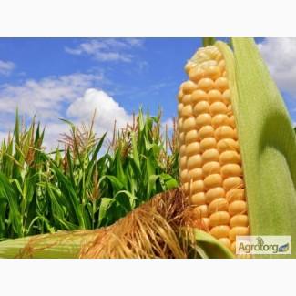 Семена кукурузы Новый от МАИС