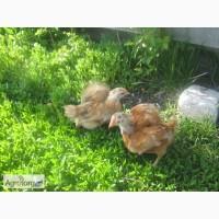 Распродажа цыплят мясо-яичных пород